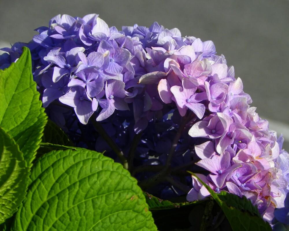 Purple Hydrangea by PineSinger