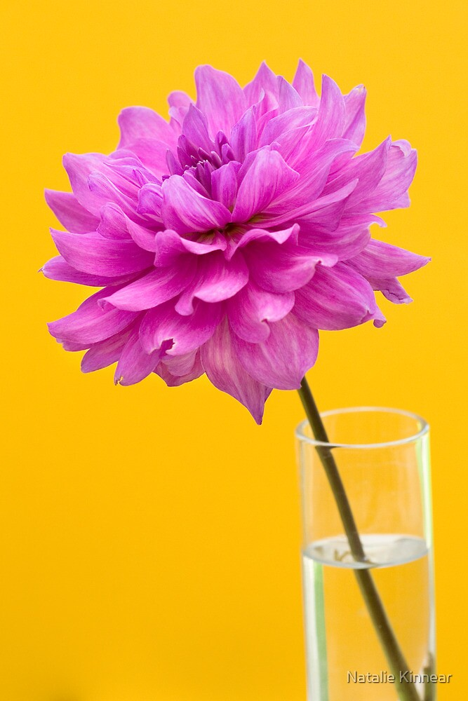 Pink Dahlia in Vase with Yellow Orange Background by Natalie Kinnear