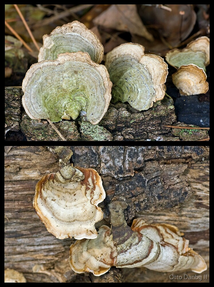 "Two Members of the ""Parchment Family"" Fungi by Otto Danby II"