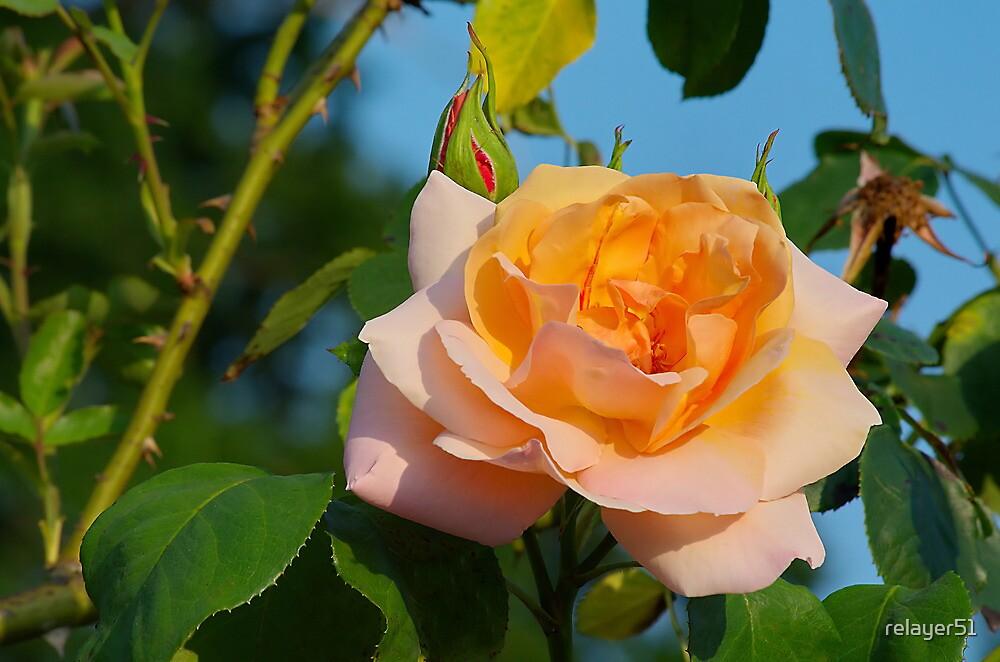 Orange Rose by relayer51