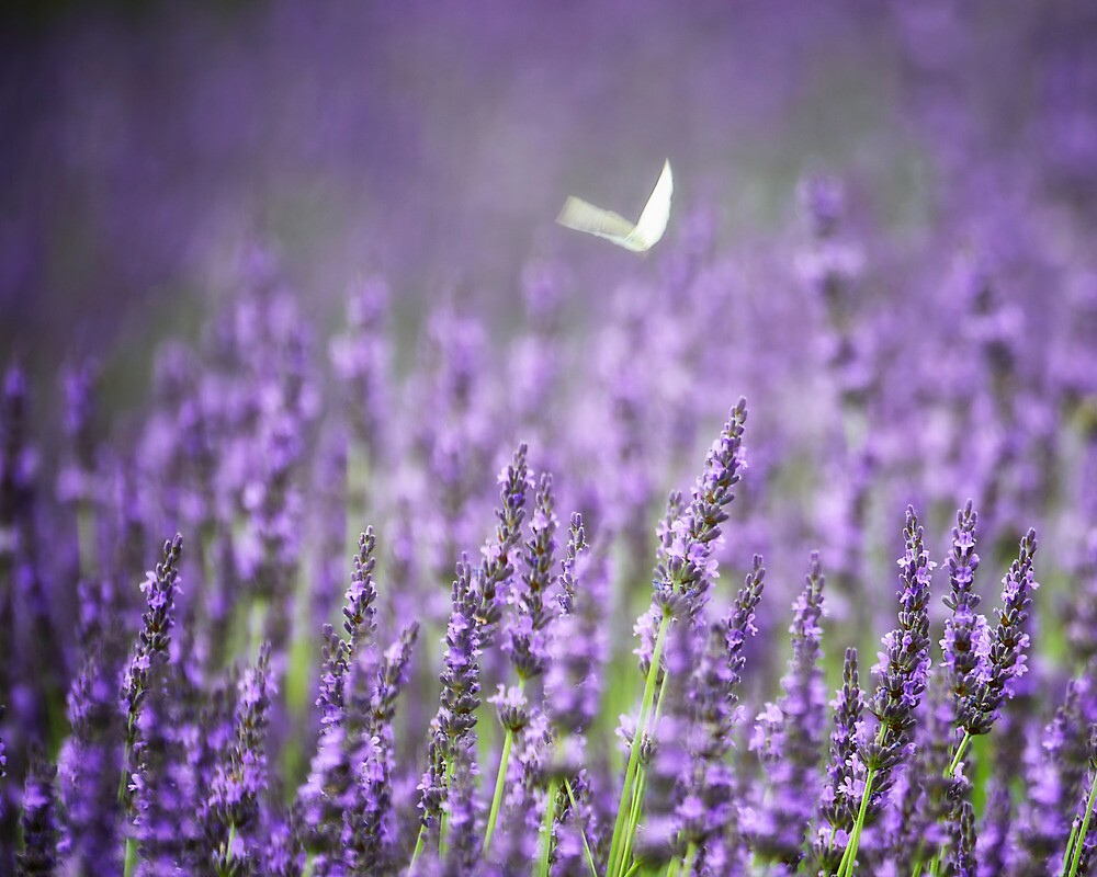 Lavender and the Butterfly by vicjauron