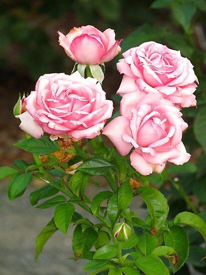 Summer Roses by Alberto  DeJesus