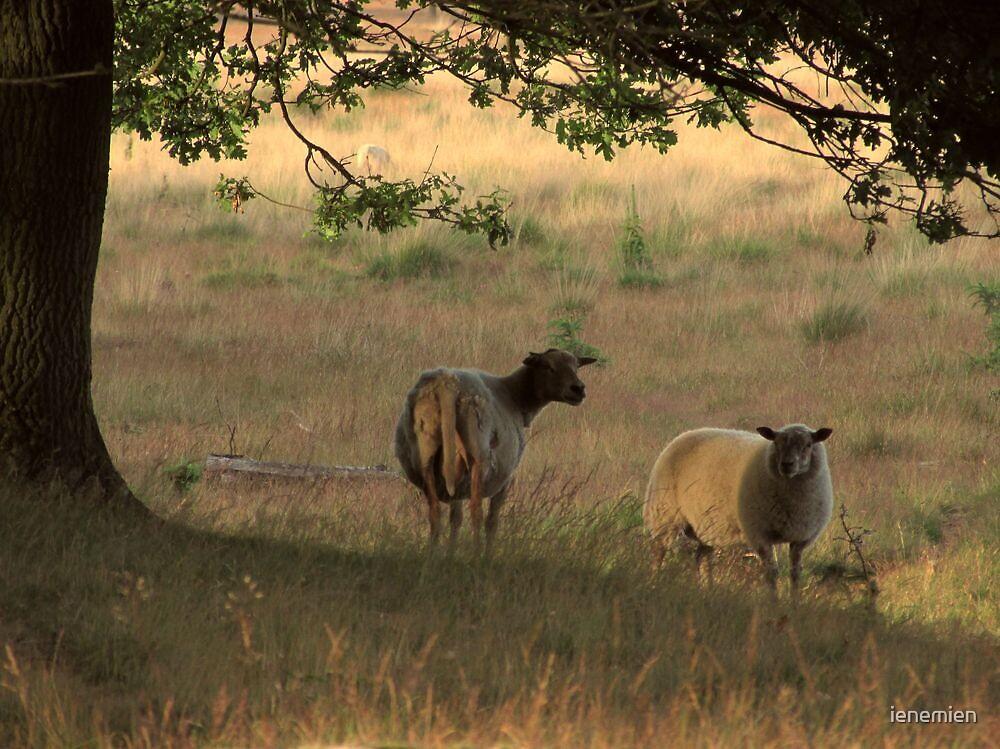 Sheep in Summer Evening by ienemien
