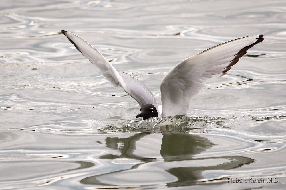 Arctic Tern Landing on the Kenai River by Robert Kelch, M.D.
