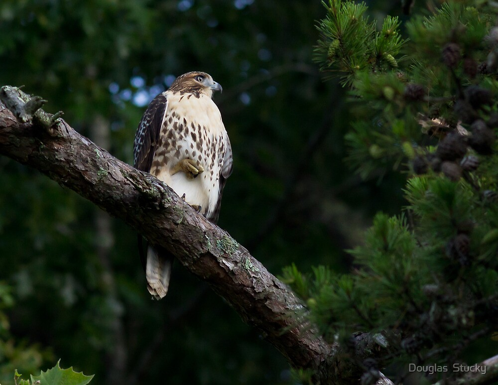Hawk on Norris Lake by Douglas  Stucky