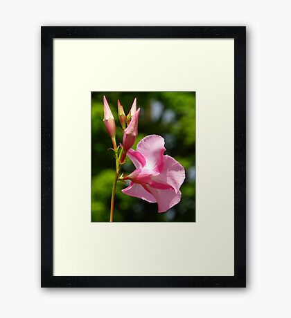Pink and White Hybrid Hibiscus Framed Print