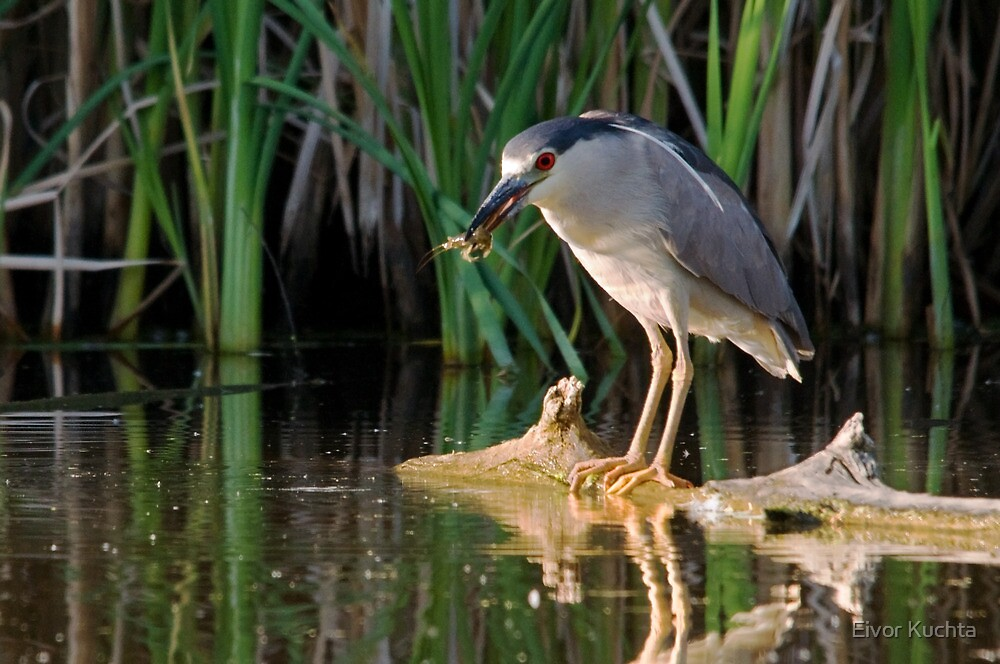 Snack time for a Night-Heron by Eivor Kuchta