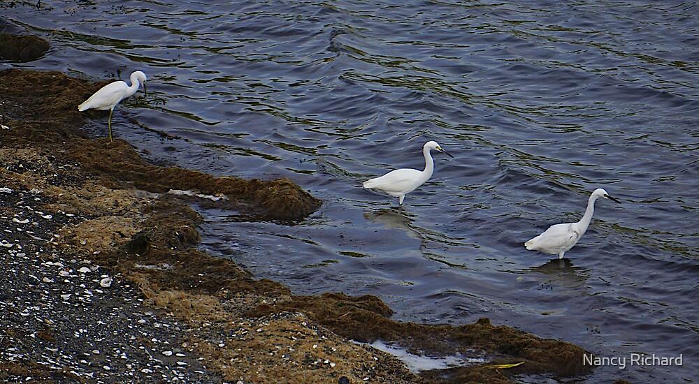 Trio of Egrets by Nancy Richard