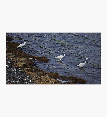Trio of Egrets Photographic Print