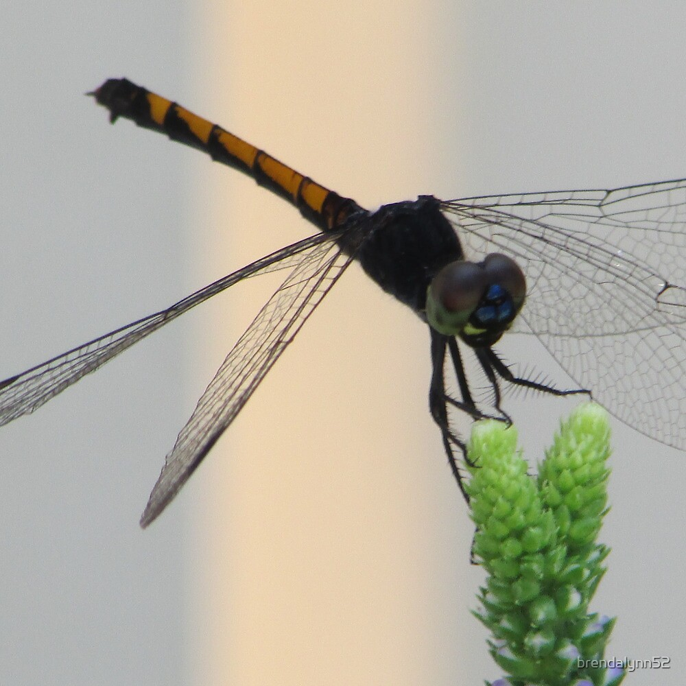 Black Dragon Fly by brendalynn52