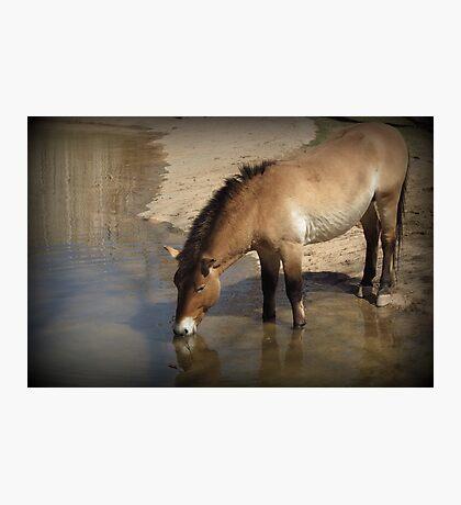 Przewalski's Wild Horse (Critically Endangered) Photographic Print