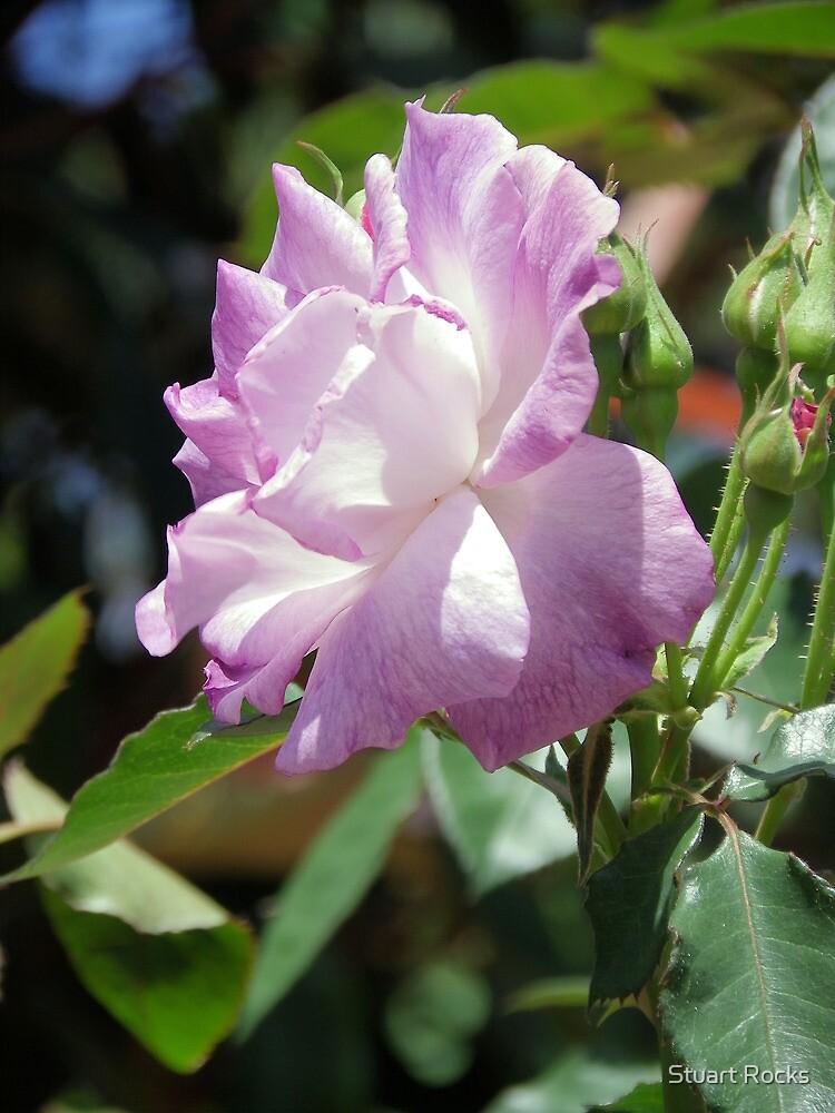 Lilac Petals by Stuart Rocks