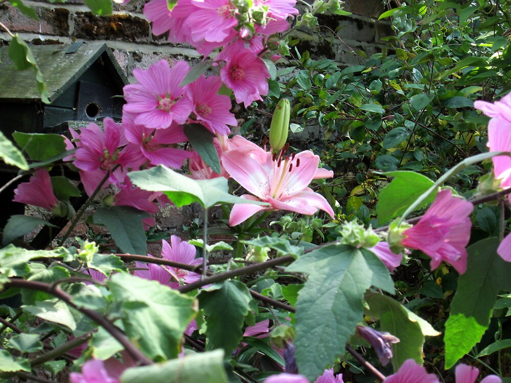 my lilly hiding in the lavatera by margaret hanks