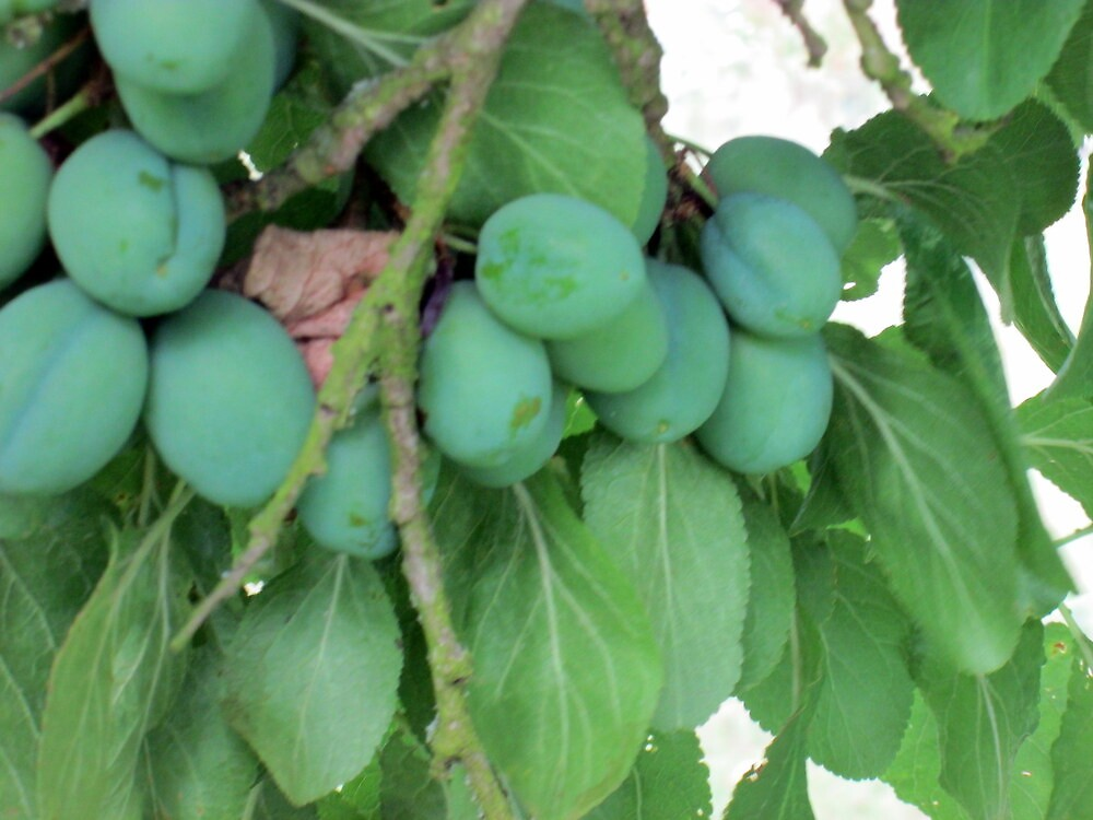 the plums are nearly ready by margaret hanks