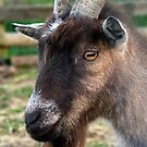 Goat by partridge