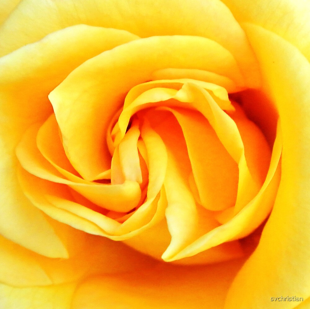 Yellow Rose by svchristian