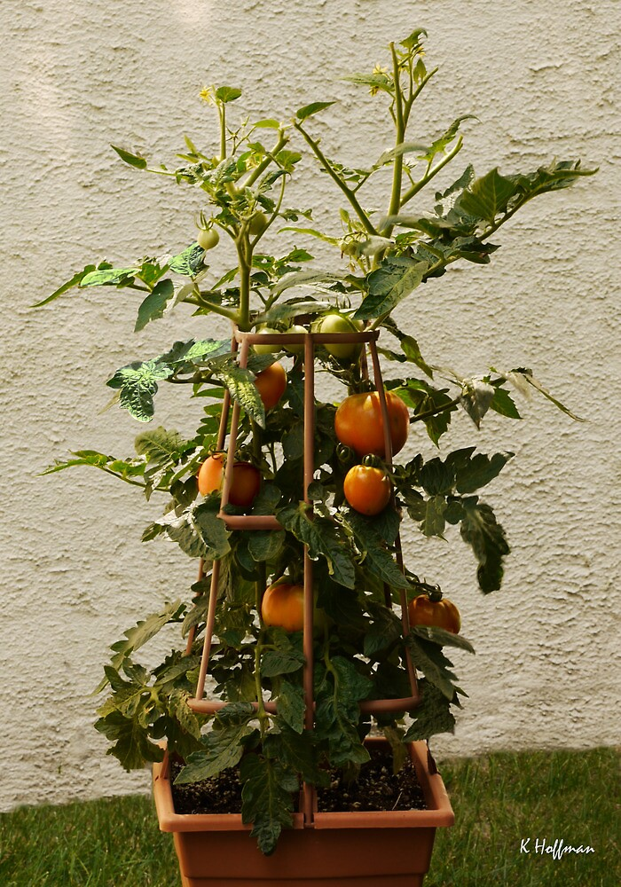 My Patio Tomato Plant by Kenneth Hoffman