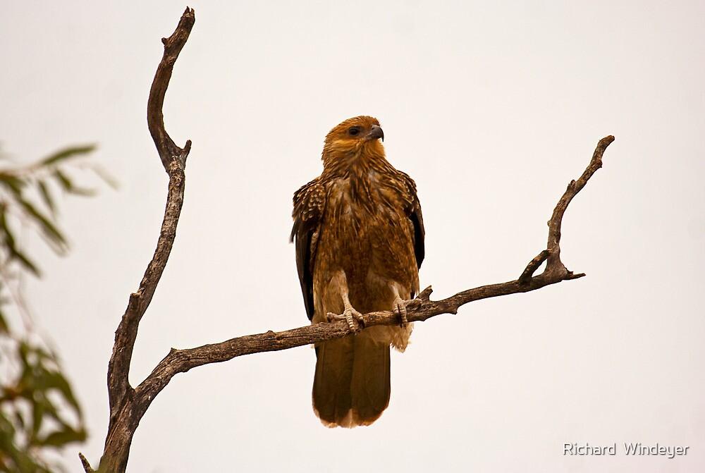 Whistling Kite by Richard  Windeyer