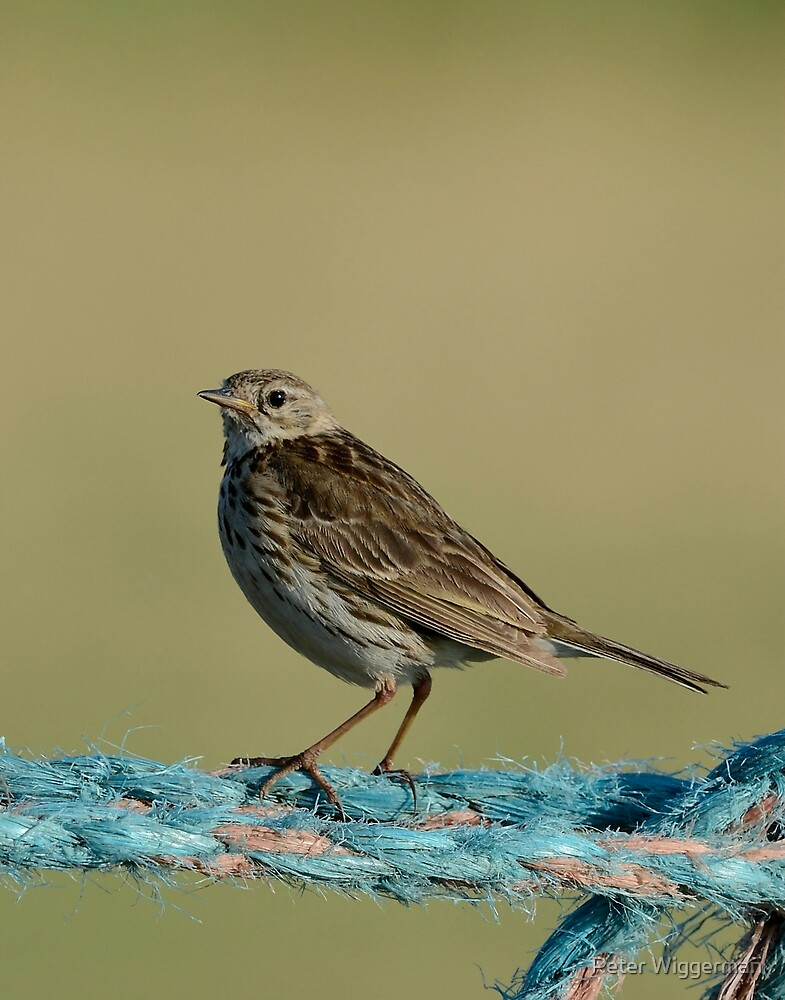 Juvenile Meadow pipit by Peter Wiggerman