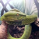 Green Viper Snake by Scott Hawkins