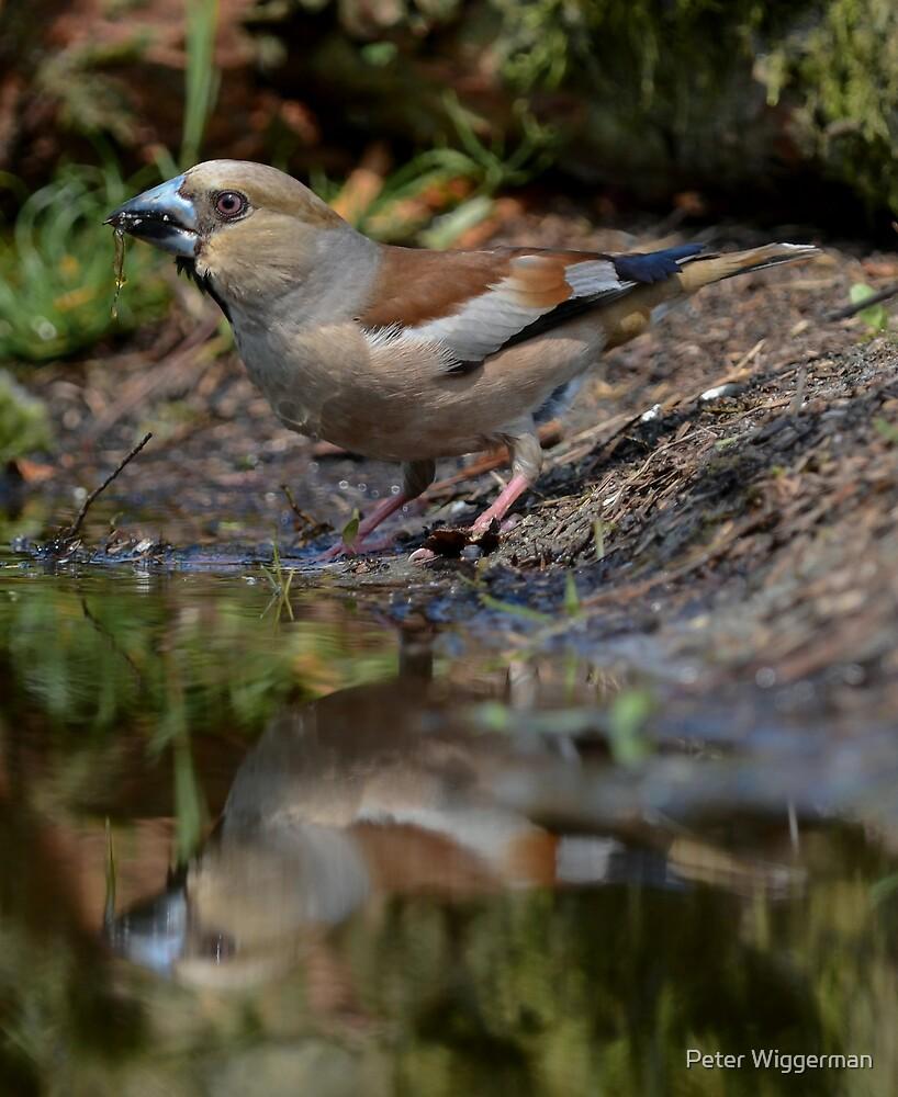 Female Hawfinch having a drink by Peter Wiggerman