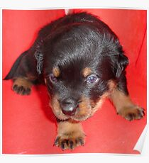 Young Rottweiler Puppy On A Red Background Poster