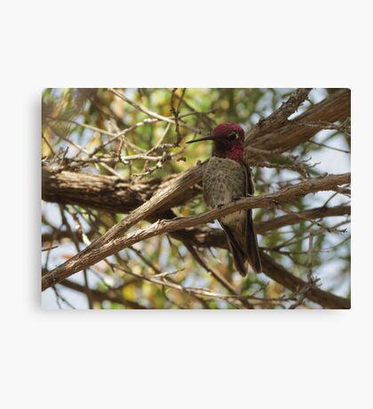 Anna's Hummingbird ~ Male  Canvas Print