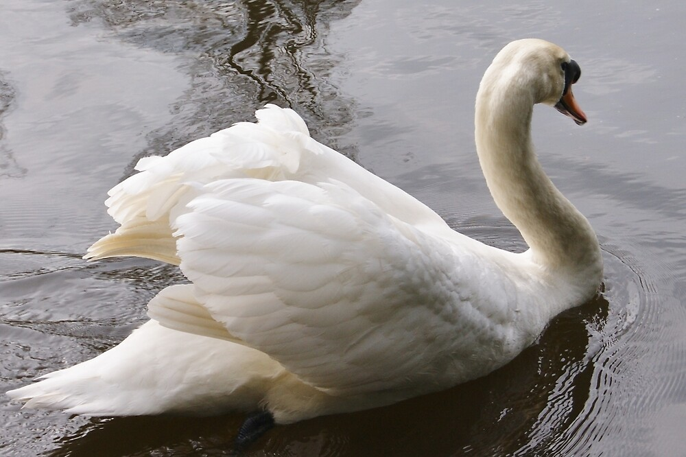 Swan on The Medway by John Stratford