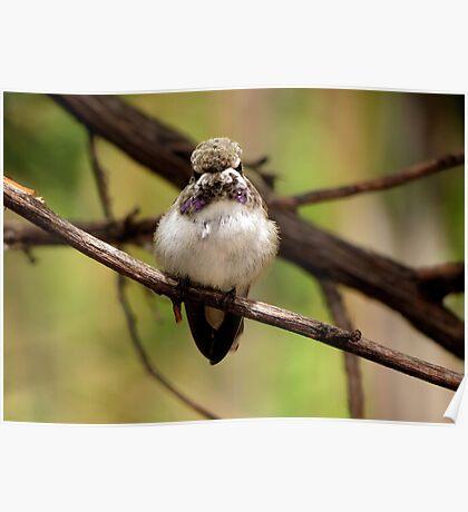 Costa's Hummingbird~ Juvenile Poster