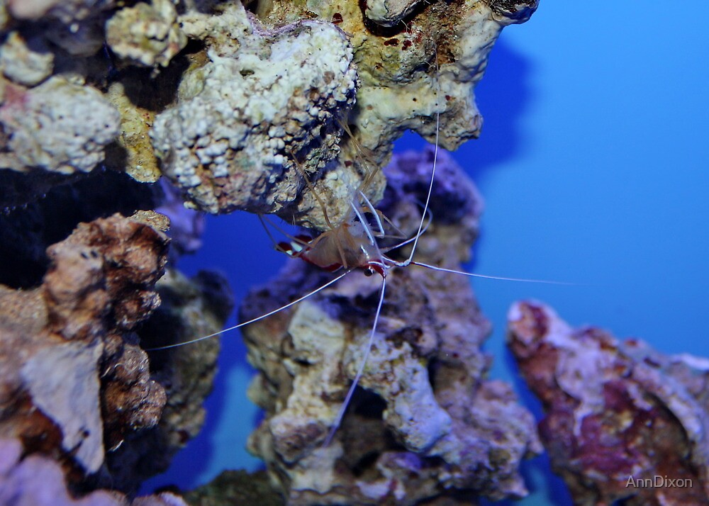 Cleaner Shrimp by AnnDixon