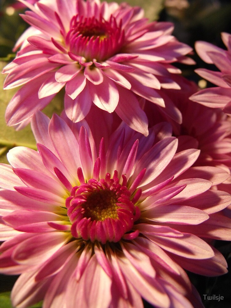 Chrysanthemum by Twilsje