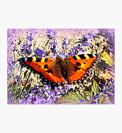 Small Tortoiseshell on Lavender Photographic Print