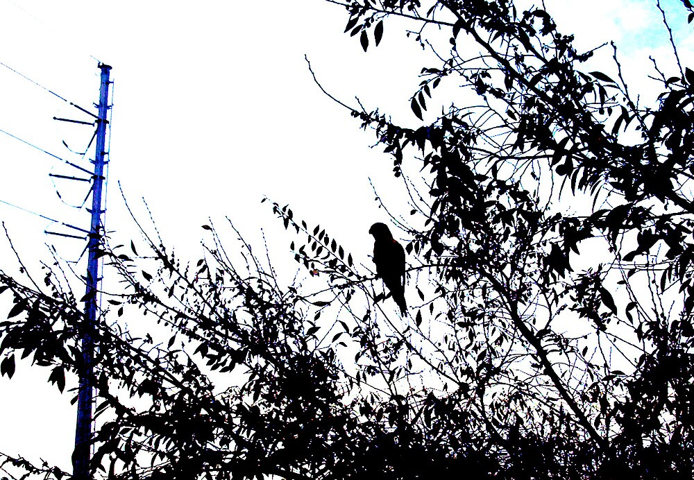 Parrot Silhouette - 11 07 12 by Robert Phillips