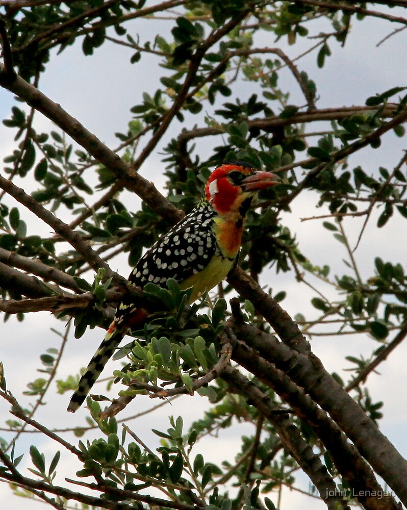Red and Yellow Barbet ( Trachyphonus erythocephalus) Terengeri NP Tanzania by john  Lenagan
