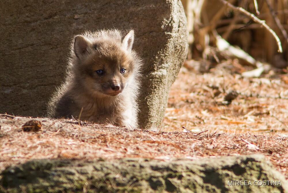 Baby Fox by MIRCEA COSTINA