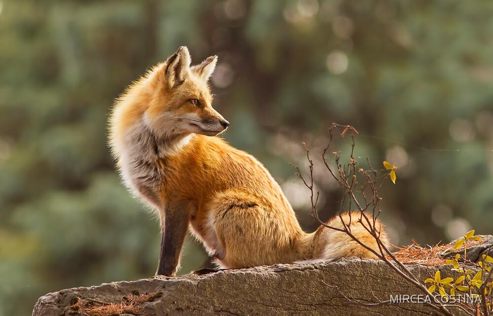 Sunset Fox by MIRCEA COSTINA