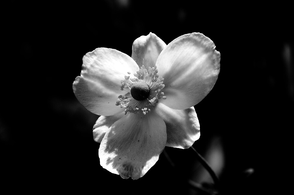 Black and White Flower by RoseScrope