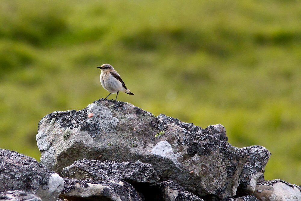 Male Wheatear by ccoles