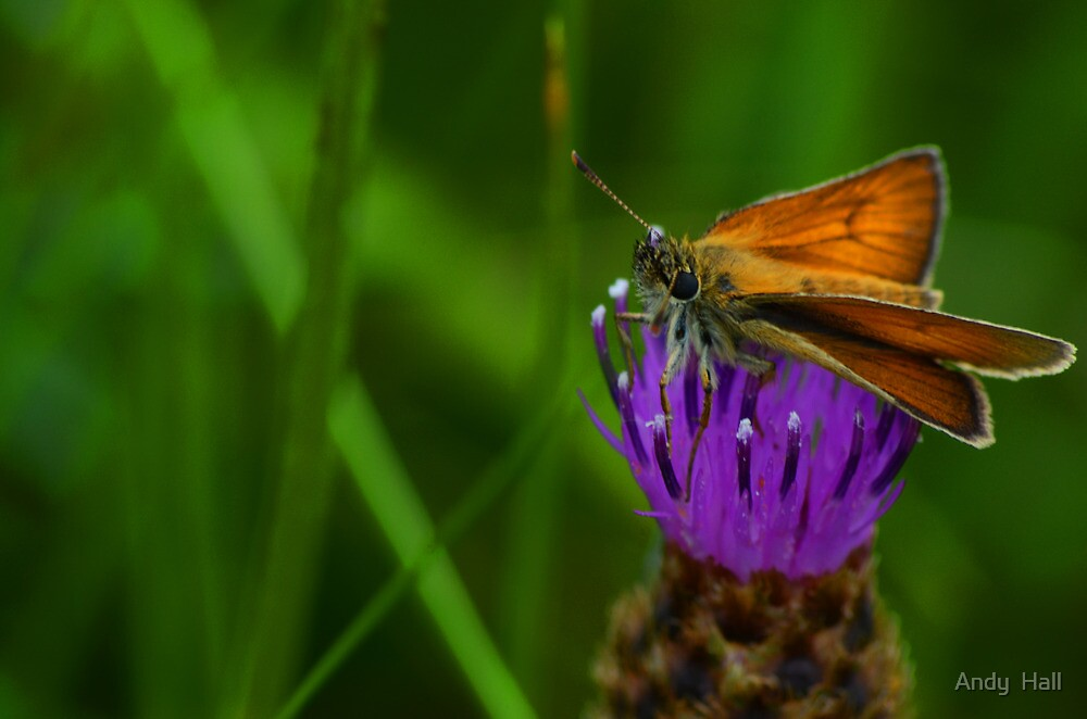 Butterfly on a thistle by Andy  Hall