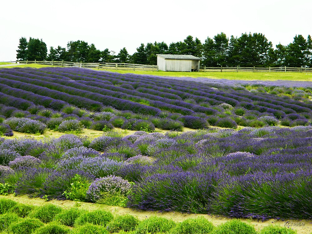 Lavender Farm 1 by kchase
