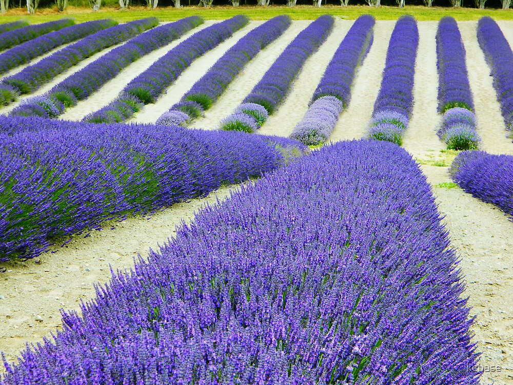 Lavender Rows by kchase