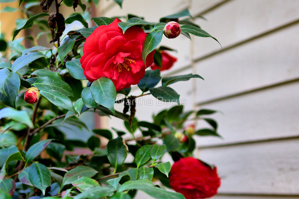 Mom's camellias by Martha Burns
