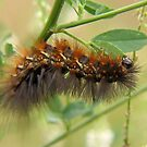 Salt Marsh Moth Caterpiller by Ron Russell