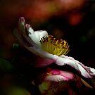 Camelia Beauty - Chalumeau Mt Irvine NSW Australia by Bev Woodman