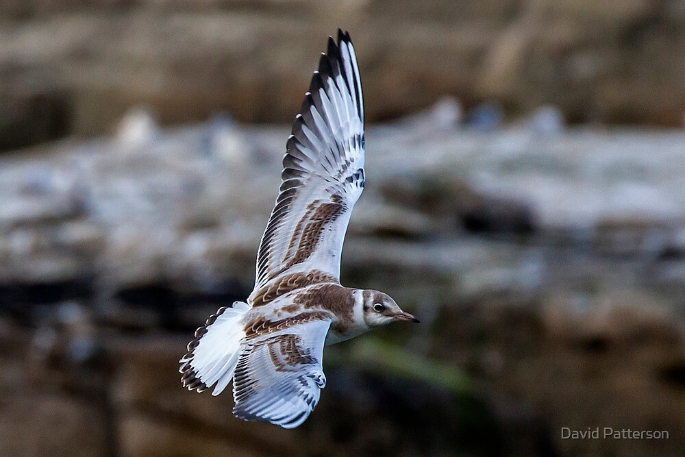 Flying Gull  by David Patterson