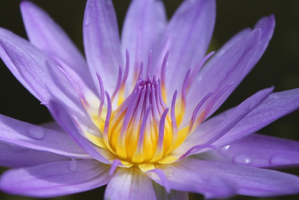 Water lily, Kenilworth Aquatic Gardens by Kelly Morris