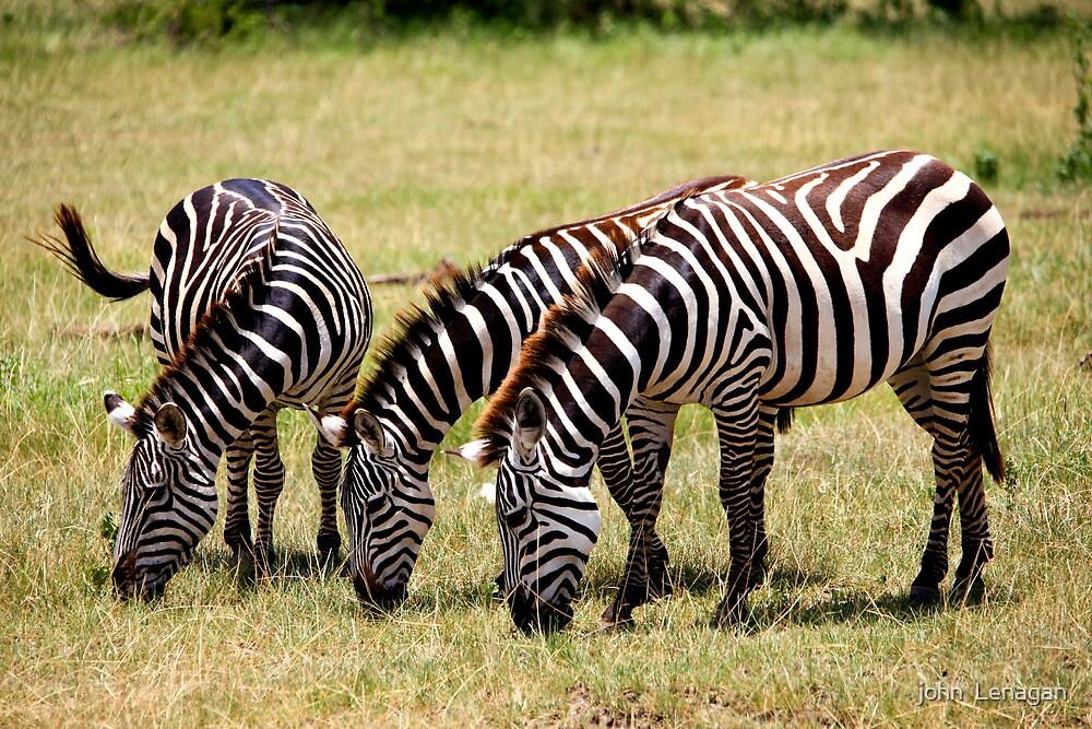 Grazing  -   Zebra  (Equus Hippotigris )  Lake Manyara Tanzania by john  Lenagan