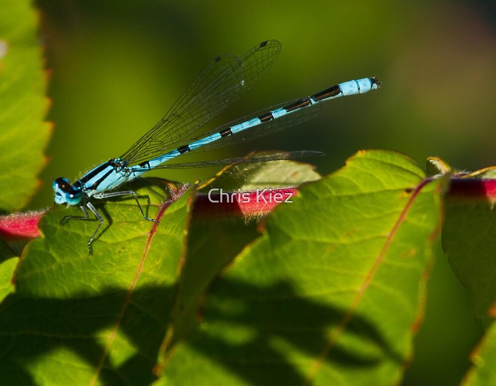Neon blue damsel by Chris Kiez