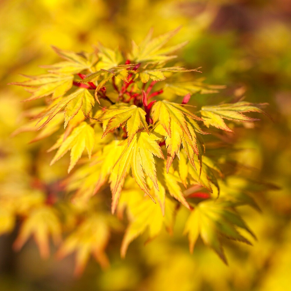 Acer by MikeBarber