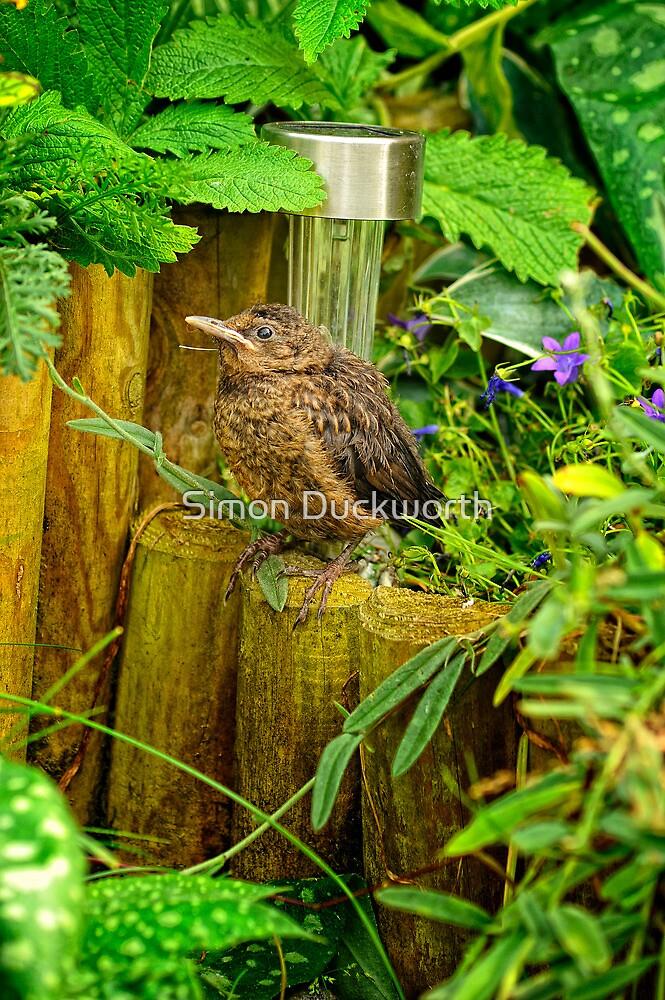 Young Blackbird by Simon Duckworth